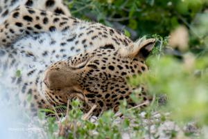 Leopard-1899