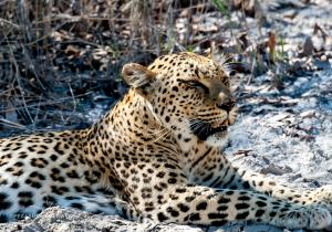 Leopard-2236