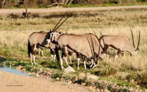 Oryx-1761