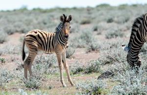 Zebra-2245
