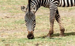 21 20171103-DSC 7189-Zebra-beim Grasen