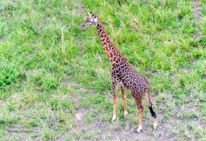 24 20171105-DSC 7437-Giraffe-einmal von oben