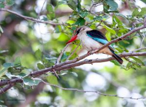 05 20171127-DSC 7750-Vogel-Kingfisher