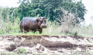 10 20171127-DSC 7723-Hippo-gelangweilter Blick