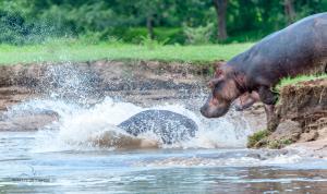 11 20171127-DSC 7782-Hippo-ab ins Wasser
