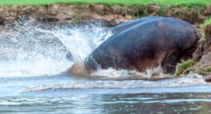 12 20171127-DSC 7784-Hippo-ab ins Wasser