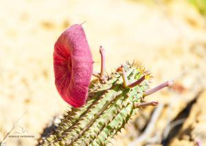 36 20180101-DSC 8183-Blume-Kaktusblüte