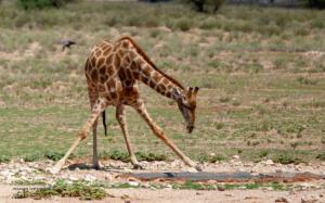 02 20180212-Giraffe-bequeme Stellung-DSC 8885