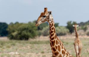 03 20180212-Giraffe-Portrait-DSC 8899