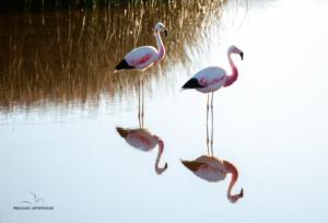 Flamingo nach dem Aufstehen