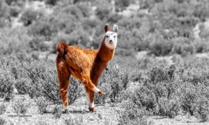 Lama im Tanzschritt